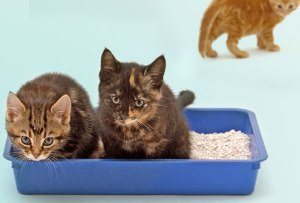 getty_rm_photo_of_kittens_using_litter_box[1]