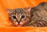 9008700-scared-cat-with-dilated-pupils-on-orange-background
